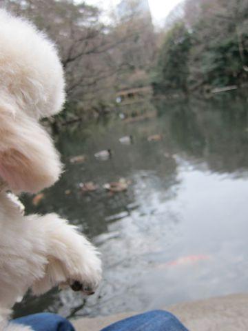 プードルフントヒュッテ東京トイプードルかわいい子犬こいぬ文京区本駒込hundehutte仔犬プードルショータイプブリーダープードルカットトイプードル画像453.jpg