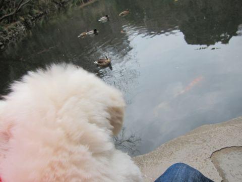 プードルフントヒュッテ東京トイプードルかわいい子犬こいぬ文京区本駒込hundehutte仔犬プードルショータイプブリーダープードルカットトイプードル画像454.jpg