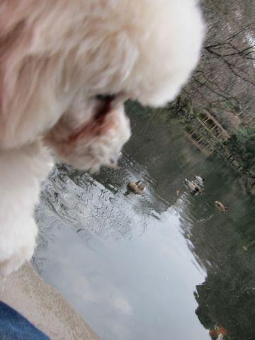 プードルフントヒュッテ東京トイプードルかわいい子犬こいぬ文京区本駒込hundehutte仔犬プードルショータイプブリーダープードルカットトイプードル画像455.jpg