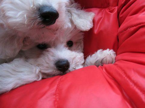 プードルフントヒュッテ東京トイプードルかわいい子犬こいぬ文京区本駒込hundehutte仔犬プードルショータイプブリーダープードルカットトイプードル画像458.jpg