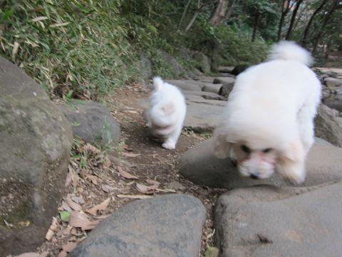 プードルフントヒュッテ東京トイプードルかわいい子犬こいぬ文京区本駒込hundehutte仔犬プードルショータイプブリーダープードルカットトイプードル画像460.jpg