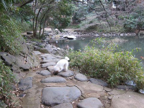 プードルフントヒュッテ東京トイプードルかわいい子犬こいぬ文京区本駒込hundehutte仔犬プードルショータイプブリーダープードルカットトイプードル画像461.jpg