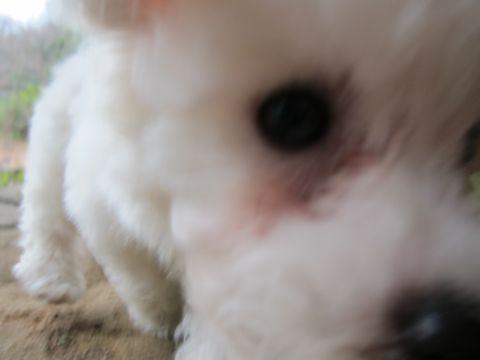 プードルフントヒュッテ東京トイプードルかわいい子犬こいぬ文京区本駒込hundehutte仔犬プードルショータイプブリーダープードルカットトイプードル画像462.jpg