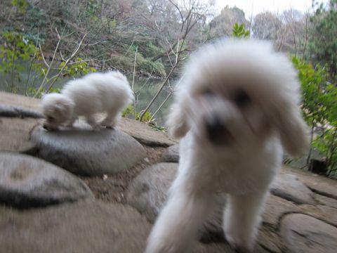 プードルフントヒュッテ東京トイプードルかわいい子犬こいぬ文京区本駒込hundehutte仔犬プードルショータイプブリーダープードルカットトイプードル画像464.jpg