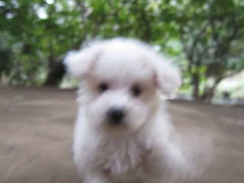 プードルフントヒュッテ東京トイプードルかわいい子犬こいぬ文京区本駒込hundehutte仔犬プードルショータイプブリーダープードルカットトイプードル画像465.jpg