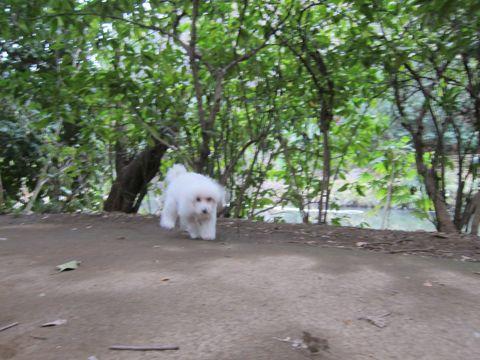 プードルフントヒュッテ東京トイプードルかわいい子犬こいぬ文京区本駒込hundehutte仔犬プードルショータイプブリーダープードルカットトイプードル画像466.jpg