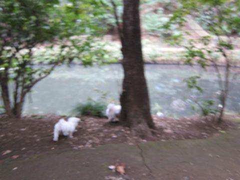 プードルフントヒュッテ東京トイプードルかわいい子犬こいぬ文京区本駒込hundehutte仔犬プードルショータイプブリーダープードルカットトイプードル画像467.jpg