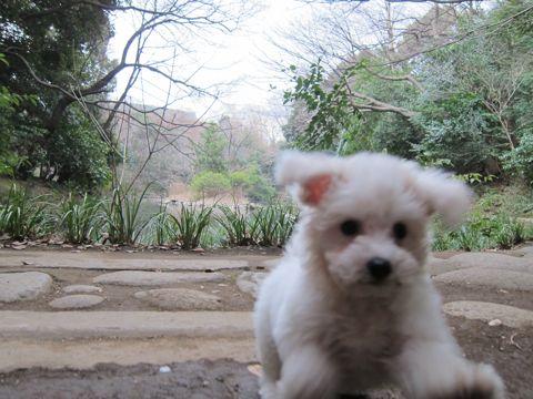 プードルフントヒュッテ東京トイプードルかわいい子犬こいぬ文京区本駒込hundehutte仔犬プードルショータイプブリーダープードルカットトイプードル画像469.jpg