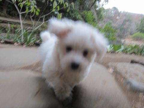 プードルフントヒュッテ東京トイプードルかわいい子犬こいぬ文京区本駒込hundehutte仔犬プードルショータイプブリーダープードルカットトイプードル画像471.jpg