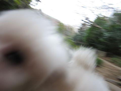 プードルフントヒュッテ東京トイプードルかわいい子犬こいぬ文京区本駒込hundehutte仔犬プードルショータイプブリーダープードルカットトイプードル画像472.jpg