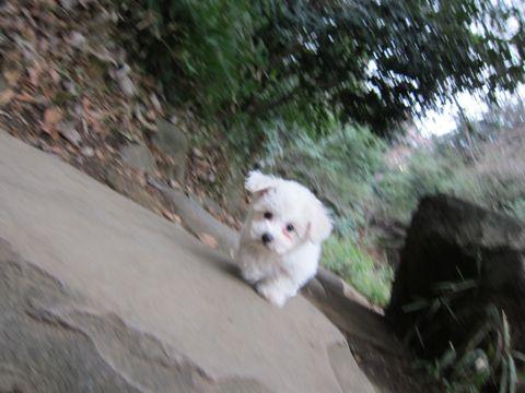 プードルフントヒュッテ東京トイプードルかわいい子犬こいぬ文京区本駒込hundehutte仔犬プードルショータイプブリーダープードルカットトイプードル画像480.jpg