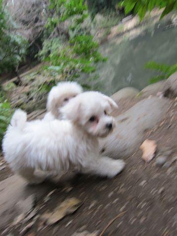 プードルフントヒュッテ東京トイプードルかわいい子犬こいぬ文京区本駒込hundehutte仔犬プードルショータイプブリーダープードルカットトイプードル画像485.jpg