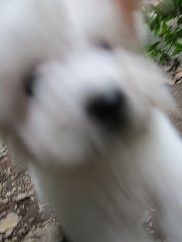 プードルフントヒュッテ東京トイプードルかわいい子犬こいぬ文京区本駒込hundehutte仔犬プードルショータイプブリーダープードルカットトイプードル画像486.jpg