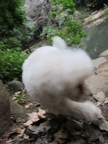 プードルフントヒュッテ東京トイプードルかわいい子犬こいぬ文京区本駒込hundehutte仔犬プードルショータイプブリーダープードルカットトイプードル画像487.jpg