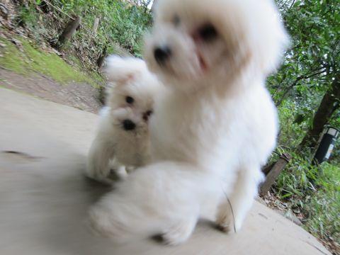 プードルフントヒュッテ東京トイプードルかわいい子犬こいぬ文京区本駒込hundehutte仔犬プードルショータイプブリーダープードルカットトイプードル画像488.jpg