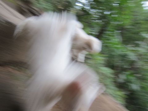 プードルフントヒュッテ東京トイプードルかわいい子犬こいぬ文京区本駒込hundehutte仔犬プードルショータイプブリーダープードルカットトイプードル画像493.jpg