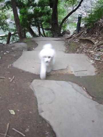 プードルフントヒュッテ東京トイプードルかわいい子犬こいぬ文京区本駒込hundehutte仔犬プードルショータイプブリーダープードルカットトイプードル画像495.jpg