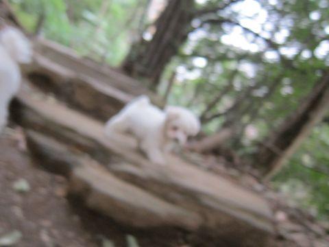 プードルフントヒュッテ東京トイプードルかわいい子犬こいぬ文京区本駒込hundehutte仔犬プードルショータイプブリーダープードルカットトイプードル画像499.jpg