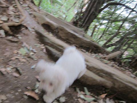 プードルフントヒュッテ東京トイプードルかわいい子犬こいぬ文京区本駒込hundehutte仔犬プードルショータイプブリーダープードルカットトイプードル画像500.jpg