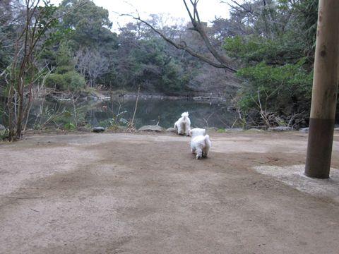 プードルフントヒュッテ東京トイプードルかわいい子犬こいぬ文京区本駒込hundehutte仔犬プードルショータイプブリーダープードルカットトイプードル画像502.jpg