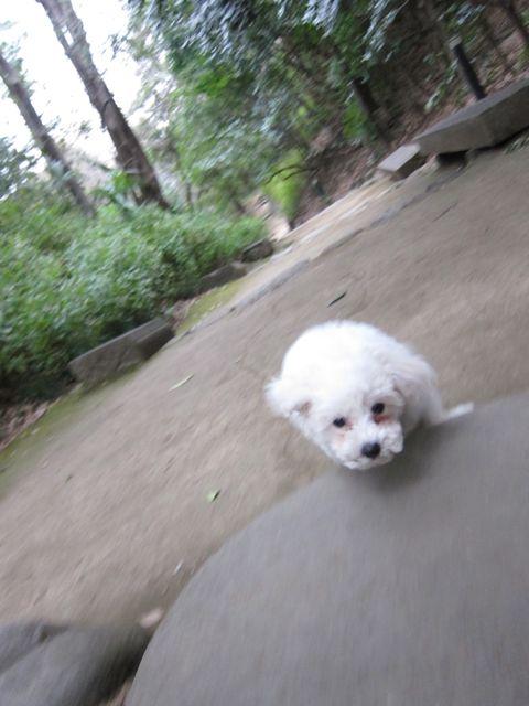 プードルフントヒュッテ東京トイプードルかわいい子犬こいぬ文京区本駒込hundehutte仔犬プードルショータイプブリーダープードルカットトイプードル画像509.jpg