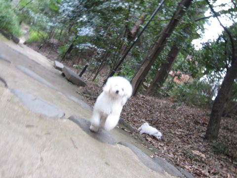 プードルフントヒュッテ東京トイプードルかわいい子犬こいぬ文京区本駒込hundehutte仔犬プードルショータイプブリーダープードルカットトイプードル画像510.jpg