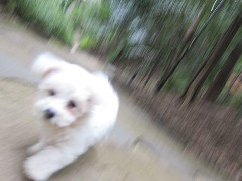 プードルフントヒュッテ東京トイプードルかわいい子犬こいぬ文京区本駒込hundehutte仔犬プードルショータイプブリーダープードルカットトイプードル画像511.jpg
