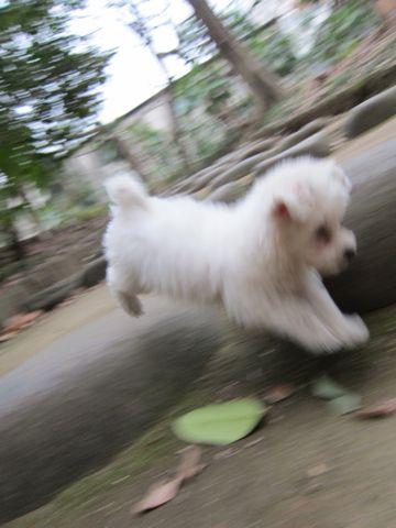 プードルフントヒュッテ東京トイプードルかわいい子犬こいぬ文京区本駒込hundehutte仔犬プードルショータイプブリーダープードルカットトイプードル画像513.jpg