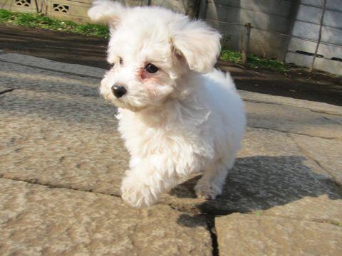 プードルフントヒュッテ東京トイプードルかわいい子犬こいぬ文京区本駒込hundehutte仔犬プードルショータイプブリーダープードルカットトイプードル画像524.jpg