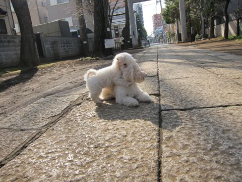 プードルフントヒュッテ東京トイプードルかわいい子犬こいぬ文京区本駒込hundehutte仔犬プードルショータイプブリーダープードルカットトイプードル画像527.jpg