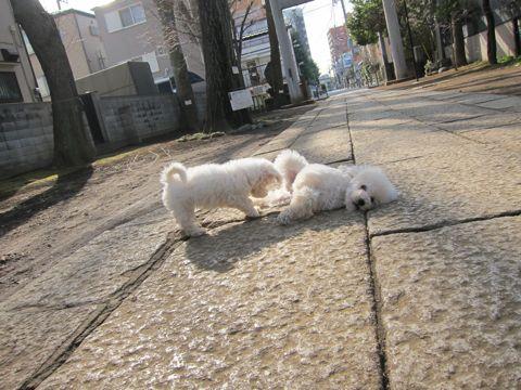 プードルフントヒュッテ東京トイプードルかわいい子犬こいぬ文京区本駒込hundehutte仔犬プードルショータイプブリーダープードルカットトイプードル画像528.jpg