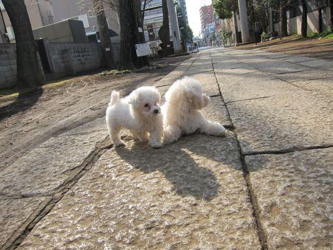 プードルフントヒュッテ東京トイプードルかわいい子犬こいぬ文京区本駒込hundehutte仔犬プードルショータイプブリーダープードルカットトイプードル画像529.jpg