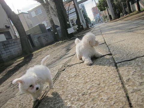 プードルフントヒュッテ東京トイプードルかわいい子犬こいぬ文京区本駒込hundehutte仔犬プードルショータイプブリーダープードルカットトイプードル画像530.jpg