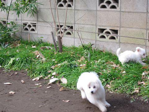 プードルフントヒュッテ東京トイプードルかわいい子犬こいぬ文京区本駒込hundehutte仔犬プードルショータイプブリーダープードルカットトイプードル画像532.jpg
