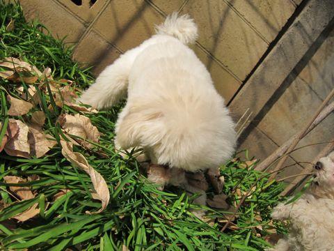 プードルフントヒュッテ東京トイプードルかわいい子犬こいぬ文京区本駒込hundehutte仔犬プードルショータイプブリーダープードルカットトイプードル画像536.jpg