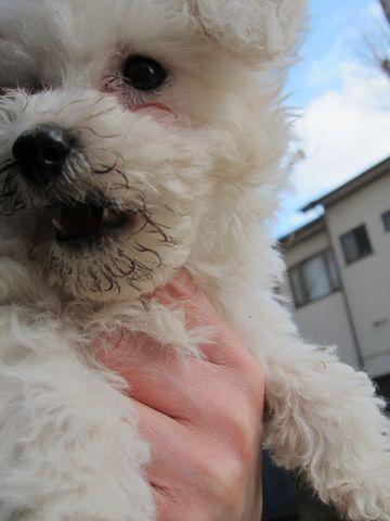 プードルフントヒュッテ東京トイプードルかわいい子犬こいぬ文京区本駒込hundehutte仔犬プードルショータイプブリーダープードルカットトイプードル画像540.jpg