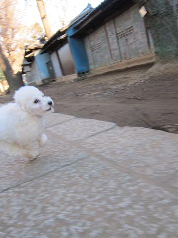 プードルフントヒュッテ東京トイプードルかわいい子犬こいぬ文京区本駒込hundehutte仔犬プードルショータイプブリーダープードルカットトイプードル画像543.jpg