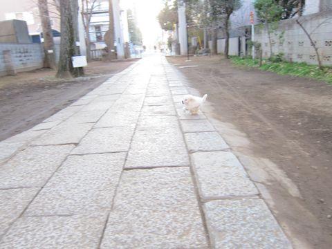 プードルフントヒュッテ東京トイプードルかわいい子犬こいぬ文京区本駒込hundehutte仔犬プードルショータイプブリーダープードルカットトイプードル画像544.jpg