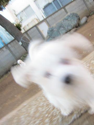 プードルフントヒュッテ東京トイプードルかわいい子犬こいぬ文京区本駒込hundehutte仔犬プードルショータイプブリーダープードルカットトイプードル画像545.jpg
