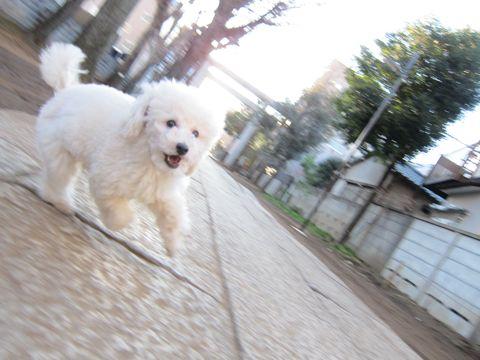 プードルフントヒュッテ東京トイプードルかわいい子犬こいぬ文京区本駒込hundehutte仔犬プードルショータイプブリーダープードルカットトイプードル画像546.jpg