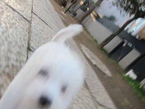 プードルフントヒュッテ東京トイプードルかわいい子犬こいぬ文京区本駒込hundehutte仔犬プードルショータイプブリーダープードルカットトイプードル画像547.jpg