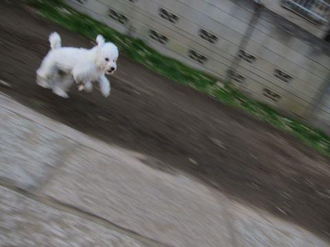 プードルフントヒュッテ東京トイプードルかわいい子犬こいぬ文京区本駒込hundehutte仔犬プードルショータイプブリーダープードルカットトイプードル画像548.jpg