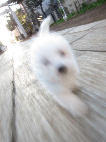 プードルフントヒュッテ東京トイプードルかわいい子犬こいぬ文京区本駒込hundehutte仔犬プードルショータイプブリーダープードルカットトイプードル画像549.jpg