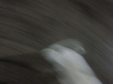 プードルフントヒュッテ東京トイプードルかわいい子犬こいぬ文京区本駒込hundehutte仔犬プードルショータイプブリーダープードルカットトイプードル画像550.jpg