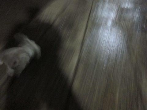 プードルフントヒュッテ東京トイプードルかわいい子犬こいぬ文京区本駒込hundehutte仔犬プードルショータイプブリーダープードルカットトイプードル画像551.jpg