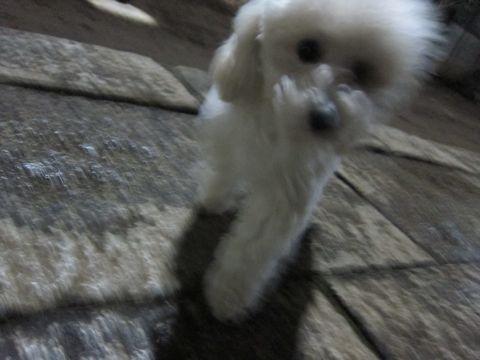 プードルフントヒュッテ東京トイプードルかわいい子犬こいぬ文京区本駒込hundehutte仔犬プードルショータイプブリーダープードルカットトイプードル画像554.jpg