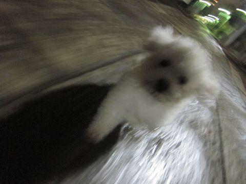 プードルフントヒュッテ東京トイプードルかわいい子犬こいぬ文京区本駒込hundehutte仔犬プードルショータイプブリーダープードルカットトイプードル画像556.jpg