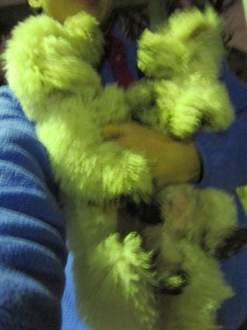プードルフントヒュッテ東京トイプードルかわいい子犬こいぬ文京区本駒込hundehutte仔犬プードルショータイプブリーダープードルカットトイプードル画像557.jpg