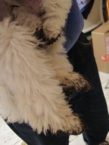 プードルフントヒュッテ東京トイプードルかわいい子犬こいぬ文京区本駒込hundehutte仔犬プードルショータイプブリーダープードルカットトイプードル画像559.jpg