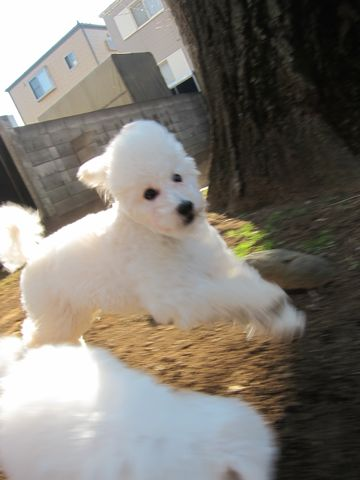 プードルフントヒュッテ東京トイプードルかわいい子犬こいぬ文京区本駒込hundehutte仔犬プードルショータイプブリーダープードルカットトイプードル画像575.jpg
